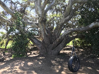 This tree has two swings on it, a tire swing, and a wide wooden swing. Find it on the trails!