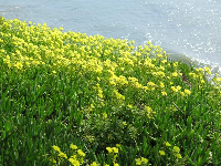 Yellow flowers above the sea...