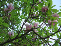 Magnolia, delightful in early March.