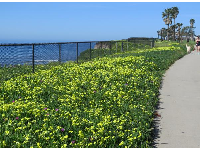 Flowers along the walking path above the sea.