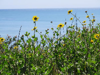 Yellow daisies and the sea.