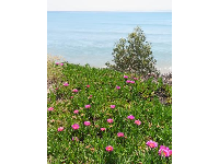 Purple flowers and the sea, on Lagoon Rd.