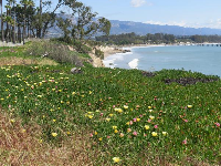 Looking toward Goleta Beach, past yellow succulents, on Lagoon Rd.