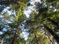 Looking up at the redwood trees.