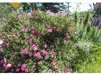 Rock rose at Camino Del Sur beach entrance- what a lovely place to live!