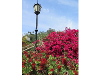 Bougainvillea and Gothic lamp.