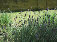 Lavendar and sandstone wall.