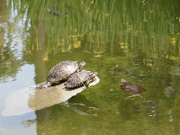 Turtles in the pond.