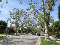 The amazing knobby trees on South Rodeo Dr.