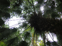 Looking up at a fan palm.
