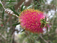 Scarlett Bottlebrush from Australia.