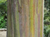 Mindanao Gum bark- how gorgeous!