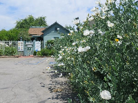 White rock rose flowers and the entrance to Leonis Adobe.