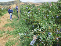 A little girl dressed in blue picking blueberries.