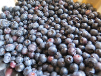 Huge bowl of blueberries, ready to be made into pie!