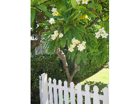 This is the kind of white picket fence I'd want, one with plumerias beside it.