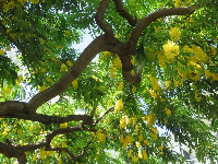 Yellow shower tree.