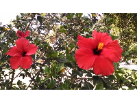 Red hibiscus in San Roque Park, a 7 minutes walk from Steven's Park.