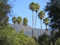 California palms and mountains in the distance.