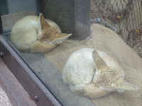 Aren't these foxes adorable how they sleep in exactly the same position?