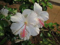 White hibiscus in Haleiwa at night.