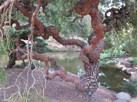 Strange twisted tree in the Japanese garden.