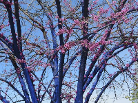 Blue-painted tree and purple blossoms.