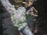 Mossy Frog, from Northern Vietnam.