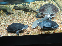 Giant Snake-necked Turtle from Australia.