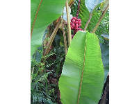 Banana leaf and red banana cluster.