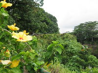 Yellow hibiscus and the path that goes up to the upper lookout.