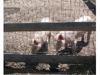 Pigs with wavy-rimmed ears!