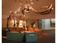 Huge mastodon skeleton.
