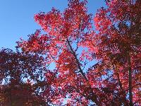 Red autumn tree!
