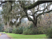 Spanish moss hanging from an oak tree.