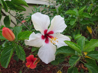 White and red hibiscus...like Hawaii!