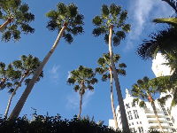 Gorgeous ultra tall palms, at a walkway to the beach between two hotels just south of 16th Street and Collins Ave.