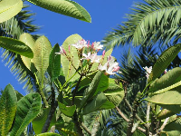 Plumeria flowers high above.