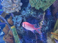 Lovely red fish and coral.