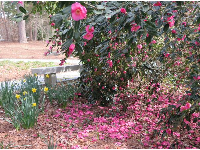 Daffodils, and camellia flowers on a tree and on the ground, in February.