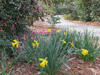 Daffodils by the path.