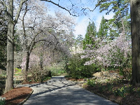 Blossoming trees along the path, mid-March.