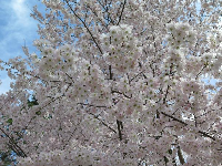 Cherry blossoms against the sky.