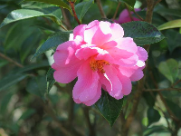 Pink camellia catching the light.