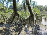 A very Southern look...Spanish moss over a salt marsh.