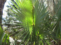 Light catching a fan palm.