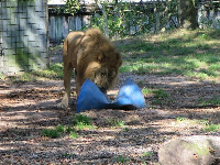 Lion playing with a toy.