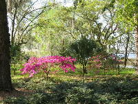 Bougainvillea by the lake.
