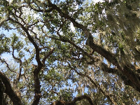 Looking up at the Spanish moss.
