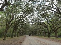 The long tunnel of trees at Wormsloe Plantation.